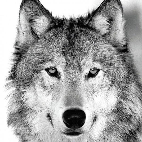 Servetter Wolf