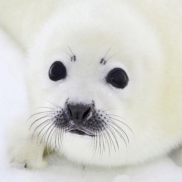 Servetter Baby Seal