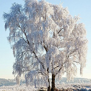 Napkins Frozen Tree