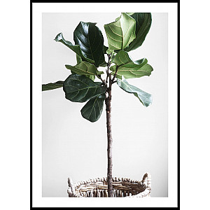 Fig Plant Poster