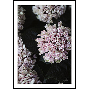 Pink Flower Dark Leaves Poster