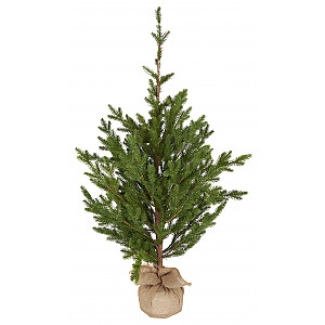 Spruce Tree with jute stand
